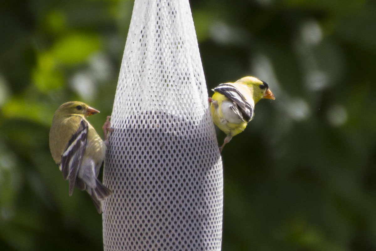 American Goldfinches Eating Thistle Seed